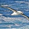 albatros à sourcils noirs, passage de Drake