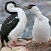 cormorans aux yeux bleus (pointe Jougla)